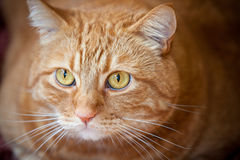 Gato anaranjado imagen de archivo libre de regalías