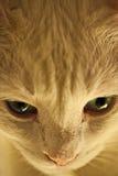 Gato anaranjado Foto de archivo