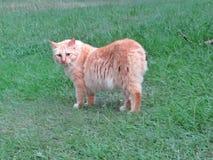 Gato anaranjado de la cola cortada del americano del gato atigrado que se coloca en verde imagenes de archivo