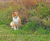 Gato anaranjado de la granja fotos de archivo