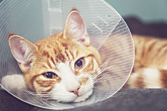Gato anaranjado en cono del cuello Foto de archivo libre de regalías