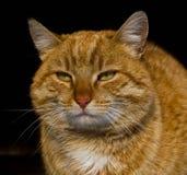 Gato anaranjado en fondo negro imagenes de archivo