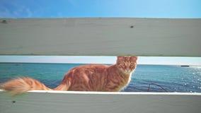 Gato anaranjado fuera de la cerca blanca cerca del mar que mira dentro del hotel almacen de metraje de vídeo