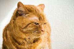 Gato anaranjado grande foto de archivo libre de regalías