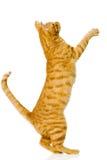 Gato anaranjado juguetón En el fondo blanco Imágenes de archivo libres de regalías