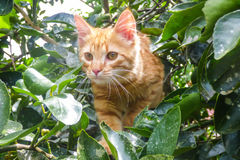 Gato anaranjado que sube un árbol imagen de archivo