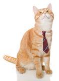 Gato anaranjado serio con un lazo Foto de archivo