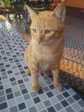 Gato anaranjado Tailandia Fotos de archivo libres de regalías