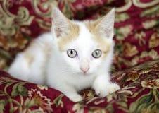 Gato anaranjado y blanco del gatito Foto de archivo