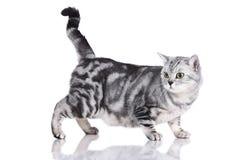 Gato ansioso isolado lateralmente fotografia de stock royalty free