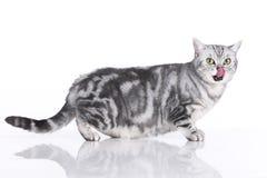 Gato ansioso isolado lateralmente imagens de stock royalty free