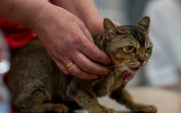 Gato asiático imagen de archivo
