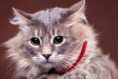 Gato assustado no fundo marrom Fotos de Stock