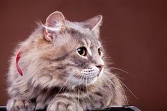Gato asustado en fondo marrón Fotografía de archivo libre de regalías