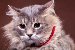 Gato asustado en fondo marrón Fotos de archivo