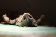 Gato atado en anestesia Fotografía de archivo libre de regalías