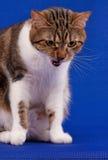 Gato atigrado adulto Imágenes de archivo libres de regalías