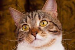 Gato atigrado adulto Fotografía de archivo