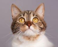 Gato atigrado adulto Imagen de archivo