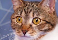 Gato atigrado adulto Imagen de archivo libre de regalías