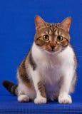 Gato atigrado adulto Fotografía de archivo libre de regalías