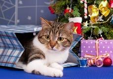 Gato atigrado adulto lindo Foto de archivo libre de regalías