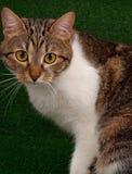 Gato atigrado adulto lindo Imagenes de archivo