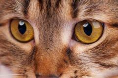 Gato atigrado adulto lindo Imágenes de archivo libres de regalías