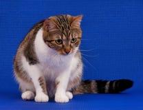 Gato atigrado adulto lindo Fotos de archivo libres de regalías
