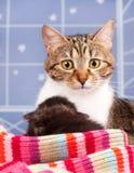 Gato atigrado adulto lindo Fotos de archivo