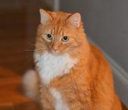 Gato atigrado anaranjado de ojos verdes Foto de archivo libre de regalías