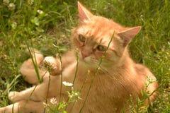 Gato atigrado anaranjado en hierba Fotos de archivo
