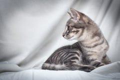 Gato atigrado común de la yarda Foto de archivo libre de regalías