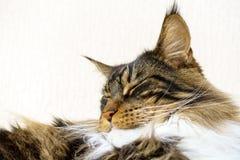 Gato atigrado de Brown con dormir blanco de Maine Coon Cat Imágenes de archivo libres de regalías