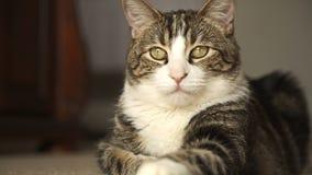 Gato atigrado del gato de casa almacen de metraje de vídeo