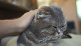 Gato atigrado escocés hermoso de la crema del doblez de orejas ca3idas con los ojos amarillos grandes almacen de video