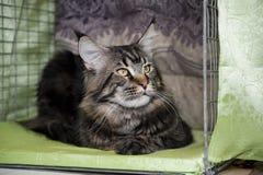 Gato atigrado grande del mármol del gato de Maine Coon Foto de archivo libre de regalías