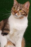 Gato atigrado lindo Fotos de archivo libres de regalías