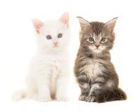 Gato atigrado lindo y gatos principales blancos del bebé del mapache que sientan y que miran la cámara Fotografía de archivo libre de regalías