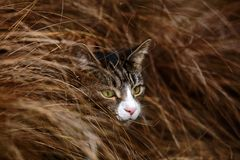 Gato atigrado y blanco Cat Hiding en hierba larga foto de archivo libre de regalías