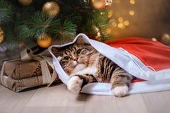 Gato atigrado y gato feliz Estación 2017, Año Nuevo de la Navidad Imagen de archivo