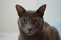 Gato azul Imagen de archivo libre de regalías