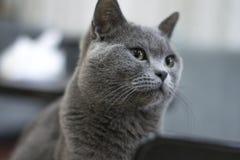 Gato azul Foto de archivo
