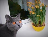 Gato azul británico Fotografía de archivo libre de regalías