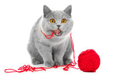Gato azul británico que mastica la bola roja de cuerdas de rosca Imagenes de archivo