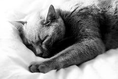 Gato azul británico stairing en la cámara Fotografía de archivo