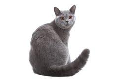 Gato azul britânico Imagens de Stock Royalty Free