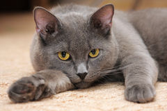 Gato azul britânico com olhos amarelos imagens de stock