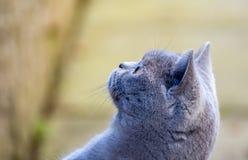 Gato azul britânico lindo bonito do bichano da pedigree do cabelo curto com sobrancelhas, suiças e vista lateral afiada do olho imagem de stock royalty free