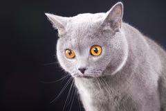 Gato azul britânico novo bonito no preto Fotografia de Stock